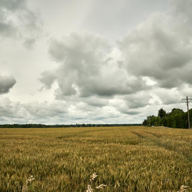 Champ de blé ciel nuageux forêt - Ferme Collay
