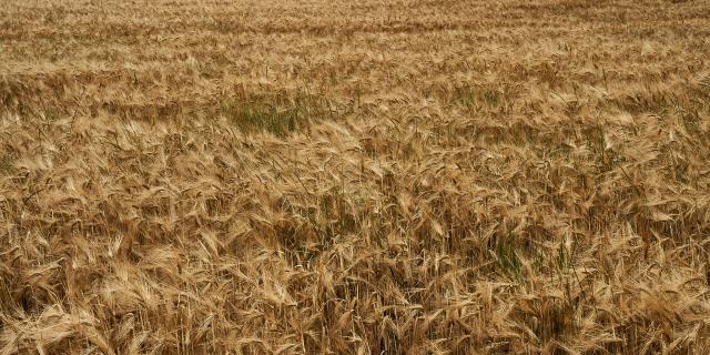 Fond champs de blé - Ferme de Collay