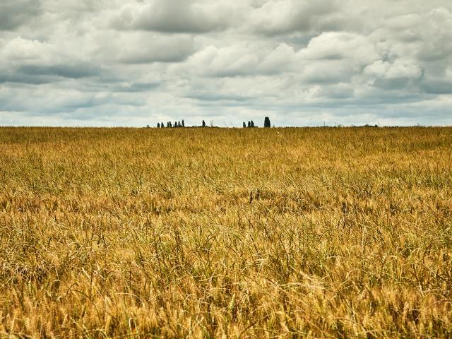 Champ de blé - Ferme Collay