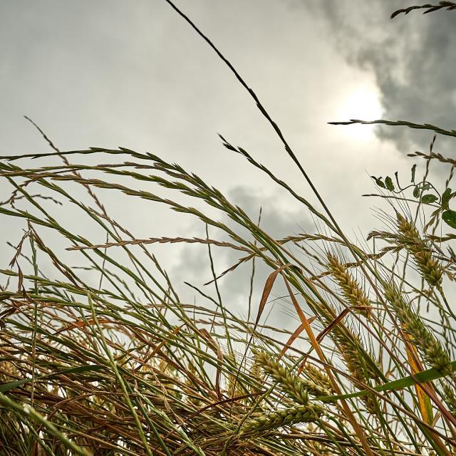 Epis et hautes herbes - Gros plan