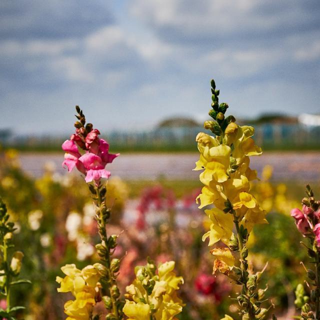 Ferme De Viltain - fleurs jaunes et roses
