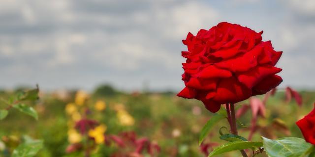 Ferme De Viltain - Rose rouge