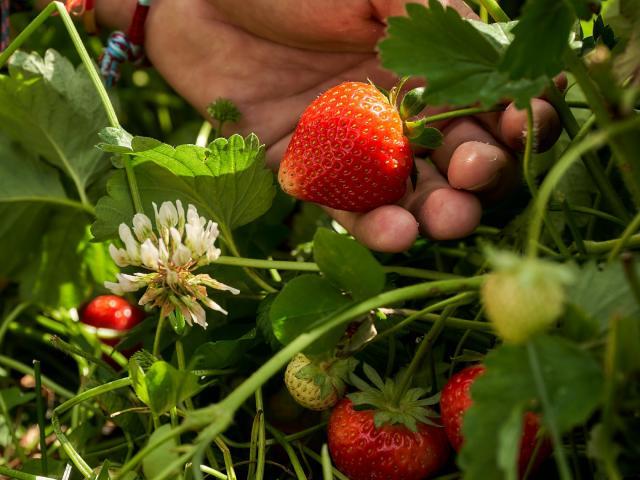 Ferme De Viltain - main cueillette fraises