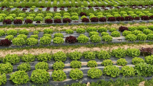 Ferme De Viltain - salades feuille de chêne