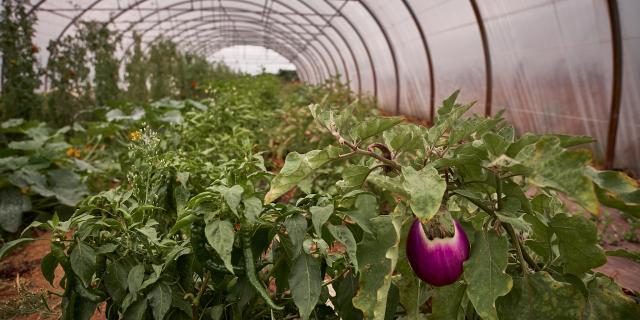 Plants d'aubergine de la Ferme de la Closeraie