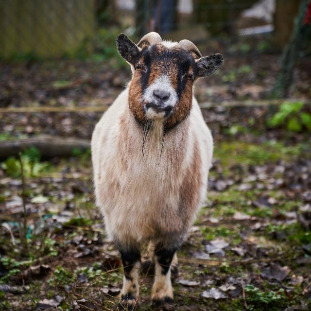 Ferme Trubuil - chèvre