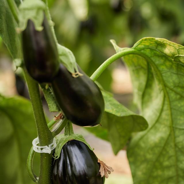 Ferme Trubuil - pied d'aubergine