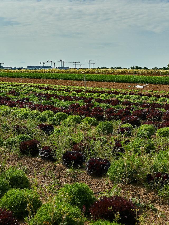Ferme Trubuil - salades en plein champ