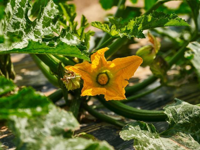 Ferme Trubuil - fleur de courgette