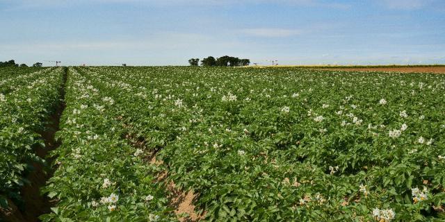 Ferme Trubuil - champs de pommes de terre