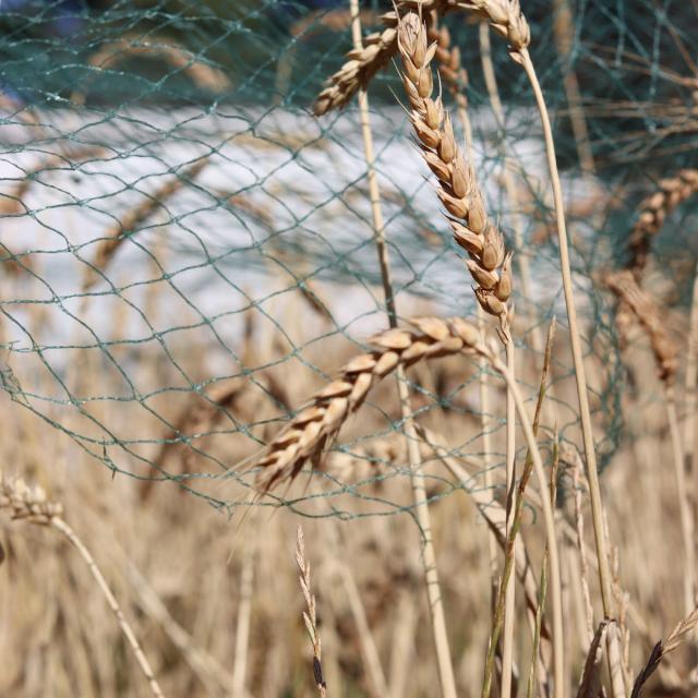 Ferme de Moulon - épi de blé sous filet