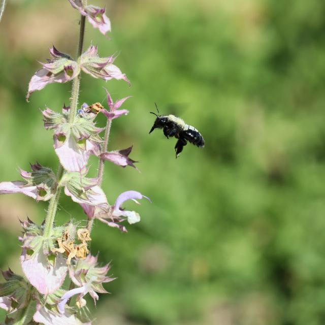 Ferme de Moulon - abeille charpentière