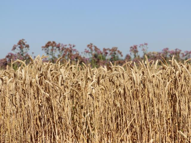 Ferme de Moulon - épis de blé
