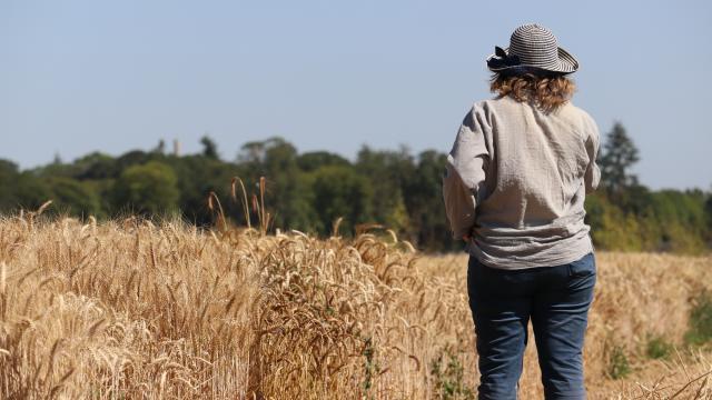 Ferme de Moulon - micro-parcelles de blé