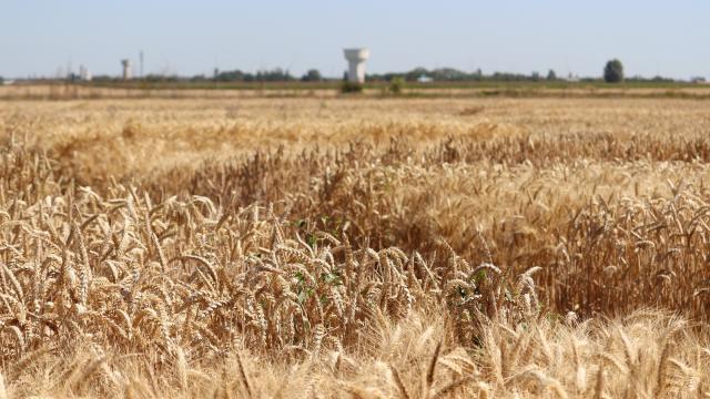 Ferme de Moulon - Microparcelles de blé