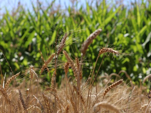Ferme de Moulon - blé isolé par du maïs
