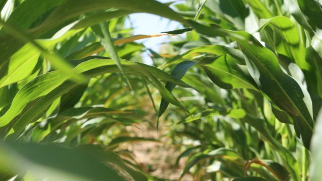 Ferme de Moulon - maïs