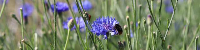 Aline Aurias, l'Enracinée - bleuet en fleur