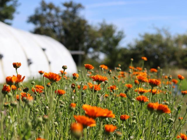 Aline Aurias, l'Enracinée - calendula en fleur