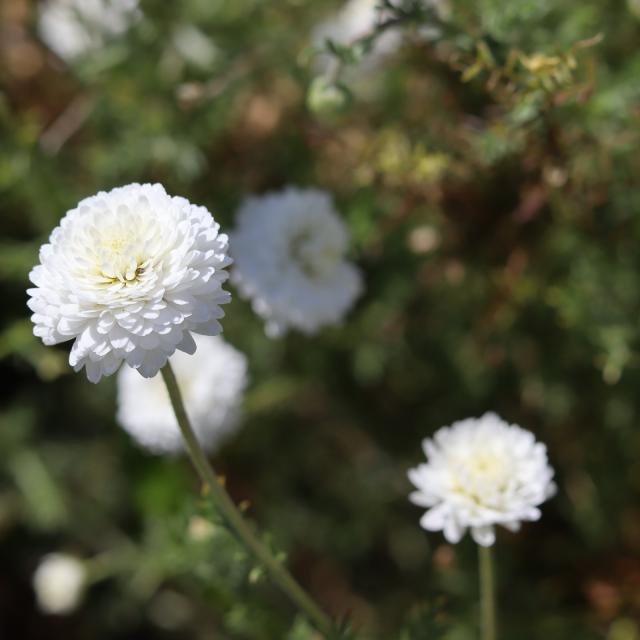 Aline Aurias, l'Enracinée - fleur de camomille