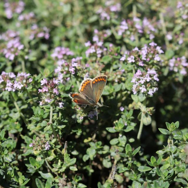 Aline Aurias, l'Enracinée - papillon sur thym en fleur