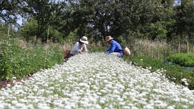 Aline Aurias, l'Enracinée - récolte de la camomille en fleur