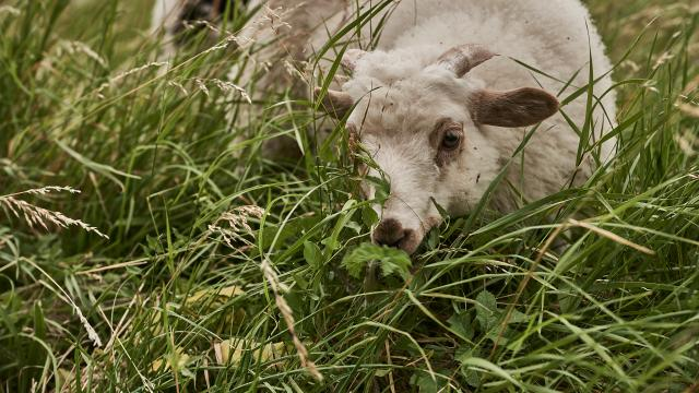 Mouton blanc qui broute - Ferme des 100 Terres
