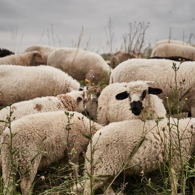 Fond Moutons - Ferme des 100 Terres