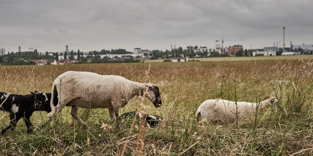 Famille de moutons avec ville en fond - Ferme des 100 Terres