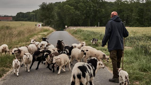Olivier Marcouyoux - Chien de troupeau et moutons - Ferme des 100 Terres