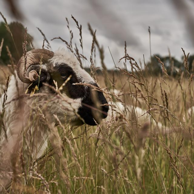 Mouton de la Ferme des 100 Terres
