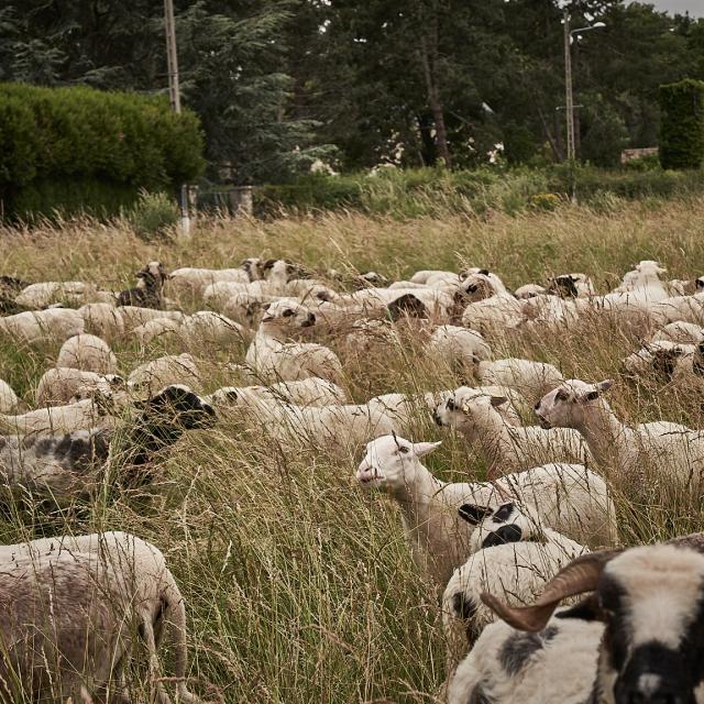 Moutons de la Ferme des 100 Terres - Plateau de Saclay