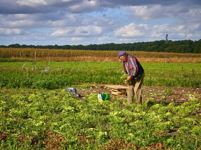 Champs de salades - La Ferme de Serge