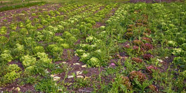 Salades - La Ferme de Serge