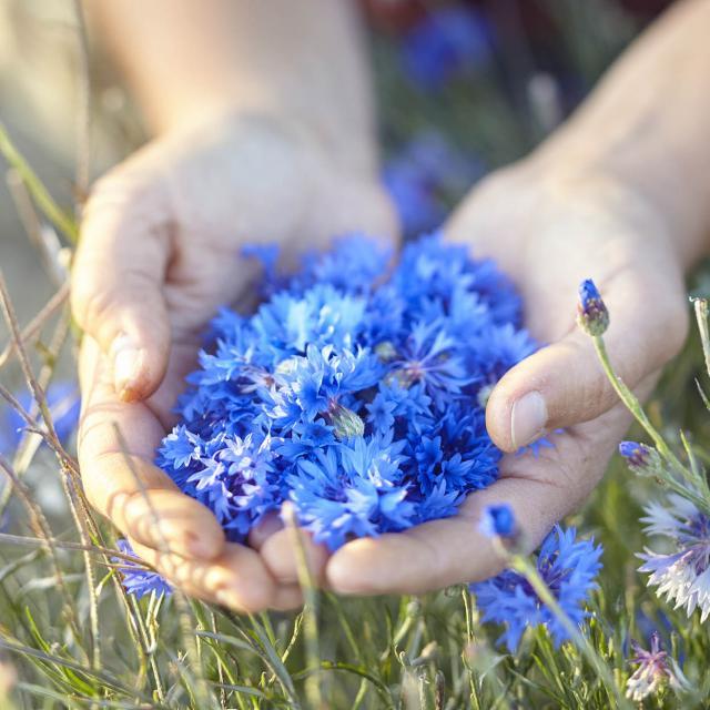 Aline Aurias, l'Enracinée - fleurs de bleuet, mains