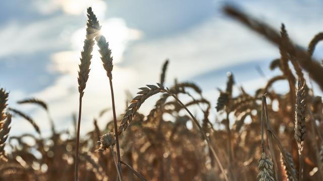 Ferme d'Orsigny - épis de blé