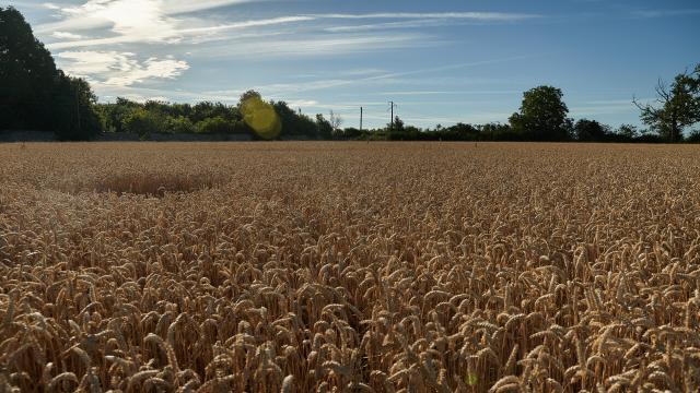 Ferme d'Orsigny - champ de blé