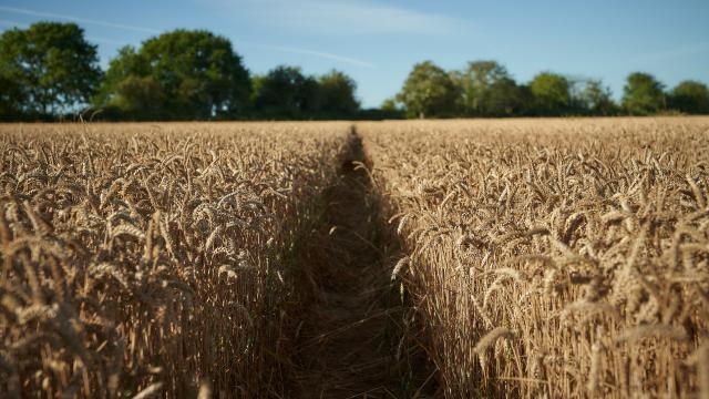 Ferme d'Orsigny - allée dans un champ de blé