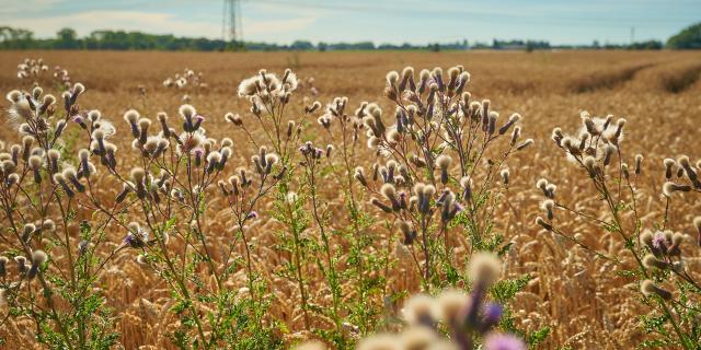 Ferme d'Orsigny - plantes en bordure de champ