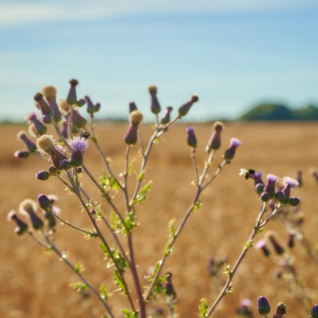 Ferme d'Orsigny - plante en fleur en bordure de champ