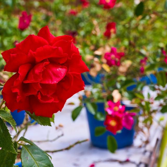 Rose rouge - Pépinière Allavoine - Bièvres