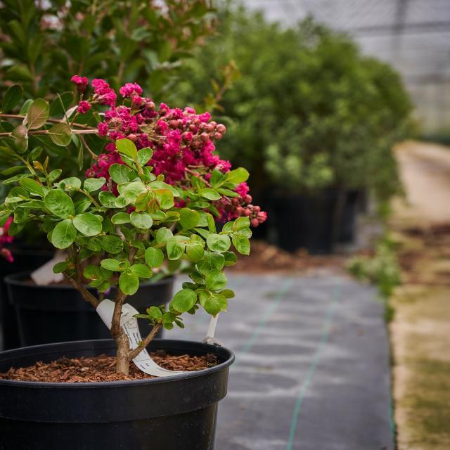 Fleur et arbuste - Pépinières Allavoine