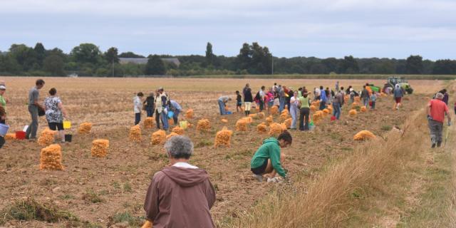 Récolte participative de pommes de terres 2014 - AMAP Jardins de Cérès - Plateau de Saclay