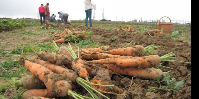 Ramassage de carottes de plein champs - AMAP Jardins de Cérès - Plateau de Saclay - Produits locaux