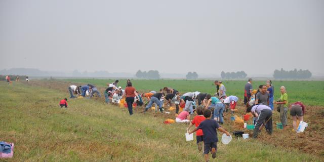 Récolte participative de pommes de terre de plein champs 2014 - AMAP Jardins de Cérès - Plateau de Saclay - Villiers-Le-Bâcle