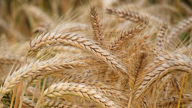 Epi de blé