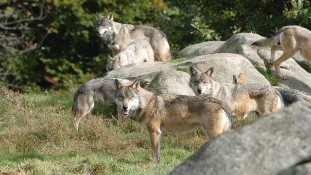 Les Loups De Chabrières, L'origine De Bien Des Légendes ©s.parouty, La Creuse