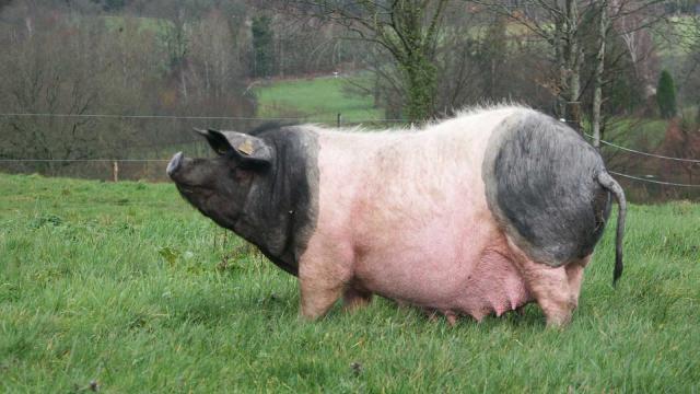 Porc cul noir