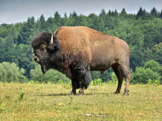élevage de bisons d'Amerique au Palais-Bourganeuf-dépt.23