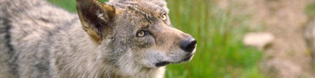 Parc aux loups Guéret ©O.Maury